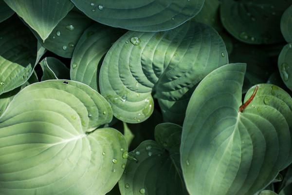 Liy pad leaves